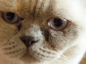 Чем чистить глаза котенку: советы ветеринаров 35