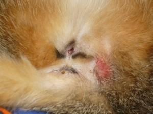 Симптомы и лечение воспаления анальной железы у котов