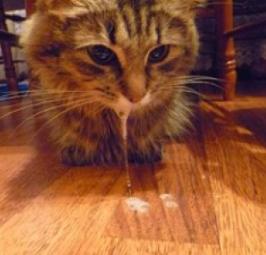 слуновыделения у кошки больной бешенством