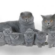 Каким характером обладает шотландская вислоухая кошка? Склонность к обучению.