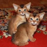 Какой характер у абиссинской кошки? Воспитание и дрессировка.