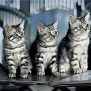 Какие породы кошек участвуют в рекламе вискас? Шотландские прямоухие кошки.