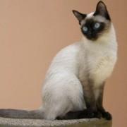 Какой характер у сиамской породы кошек? Достоинства и отличительные черты.
