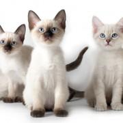 Какой характер у тайской кошки? Почему её называют говорящей?