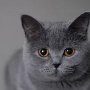 Какой характер у британской кошки? Как обращаться с ней?