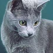 Особенности характера сибирской голубой кошки. Отношение к другим животным.
