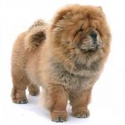 Описание породы собак чау-чау. Особенности характера, уход, дрессировка.