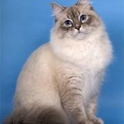 Какой характер у невской маскарадной кошки? Как переносит общение и одиночество?