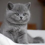 Какой характер у британской короткошерстной кошки? Английская чистюля.