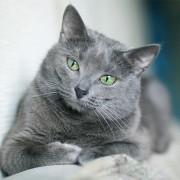 Какой характер у русской голубой кошки? Особенности породы.