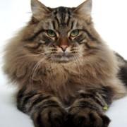 Какой характер у сибирской кошки? Обучаемость, интеллект, приспосабливаемость.