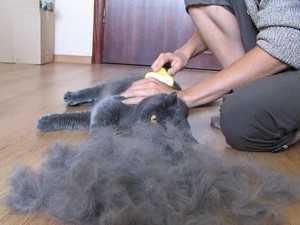 Сезонное выпадение шерсти у кошек