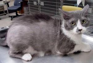 Выпадение шерсти у кошек из – за болезней