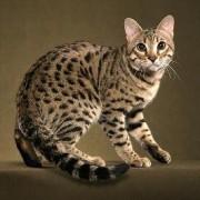 Знакомьтесь – бенгальская кошка: характер, описание породы.