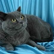 Настоящая британская короткошерстная кошка: описание породы, характер и поведение.