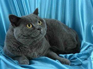 бенгальская кошка описание характера