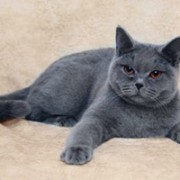 Настоящая британская голубая кошка: описание породы, внешнего вида, характера.