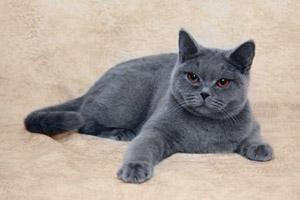 британские голубые кошки