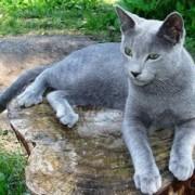 Игривая русская голубая кошка: описание породы, характера.