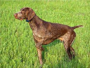 Курцхаары сильные собаки, они способны быстро бежать довольно долгое время, им присущи<strong>тонкое чутье и отменный нюх</strong>.