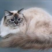 Чем привлекательна невская маскарадная кошка? Описание породы, характер.
