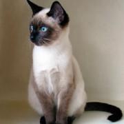 Чем известны сиамские кошки? Описание породы, характер, история происхождения.