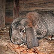 Инфекционные болезни кроликов и их симптомы и лечение. Миксоматоз, кокцидиоз и другие заболевания