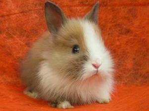 Породы декоративных кроликов, уход за ними и кормление в домашних условиях. Возможные болезни.