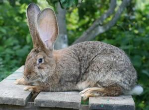 гигант кролик Ризен