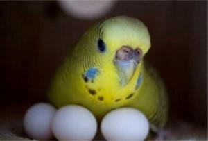 как размножаются попугаев