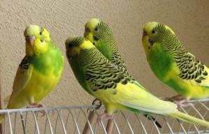 корм для волнистых попугаев