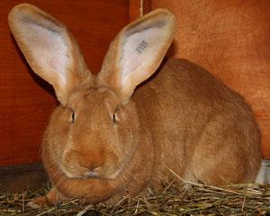 Гигантские кролики немецкой породы ризен. Разведение и содержание кроликов – Великанов