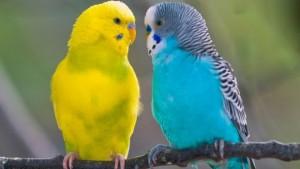 Обсуждение, как отличить попугая мальчика от девочки. Определение пола у птиц