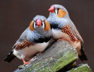 попугаи амадины