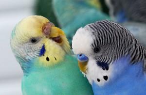 Советы, как определить возраст волнистого попугая. Возраст самца и самок попугаев