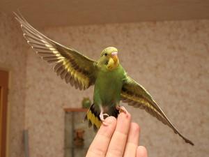 волнистый попугай приручение
