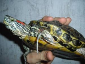 чем болеют черепахи