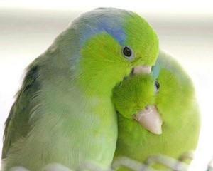 чем болеют попугаи