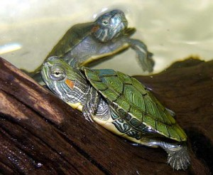 черепаха уход