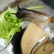 Обсуждаем, чем рекомендуется кормить улиток ахатин в домашних условиях