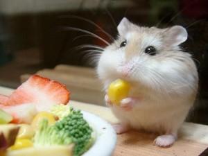 что ест хомяк