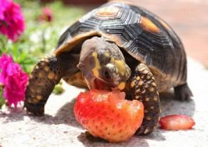 что можно черепахам