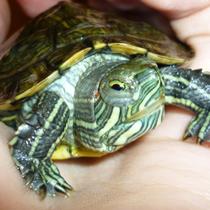 глаза черепахи красноухой