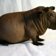 Описание лысой морской свинки. Содержание, уход, питание в домашних условиях