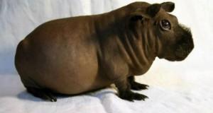 голая морская свинка