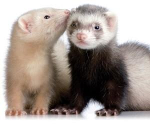 Шустрые хорьки как домашние животные, обсуждаем плюсы и минусы содержания