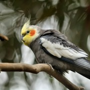 Советы, как приручить попугая кореллу к рукам. Способы приручения едой, игрушками