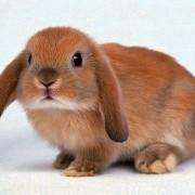 Рассказываем, сколько живут декоративные кролики в домашних условиях. Секреты долголетия