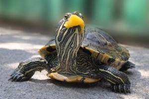 кормление чрепах