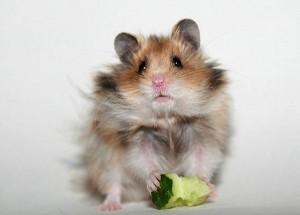 Рекомендации, чем можно кормить хомяка в домашних условиях. Особенности питания